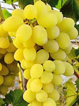 Виноград Вікторія біла (1 шт)