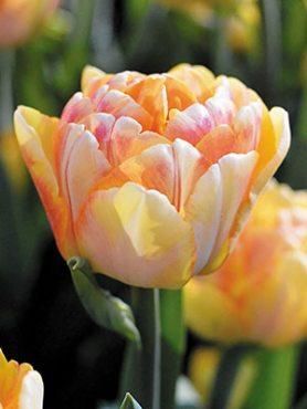 Тюльпаны Махровые ранние Foxy Foxtrot 1112 (3 шт)