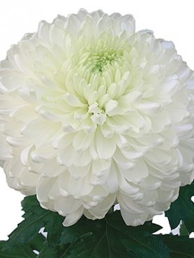 Хризантема срезочная Palisade White (3 шт)
