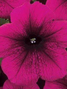 Петунія багатоквіткова Mirage Velvet F1, темно-пурпурова з прожилками (10 шт)