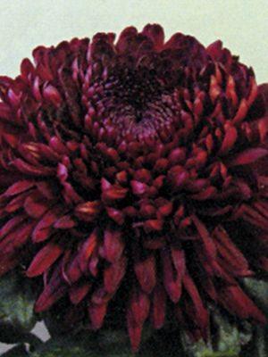 Хризантема срезочная Jalta Red (3 шт) - 1