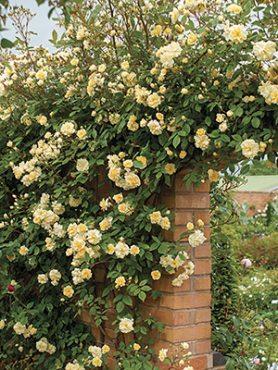 Роза плетистая Malvern Hills(1 шт)