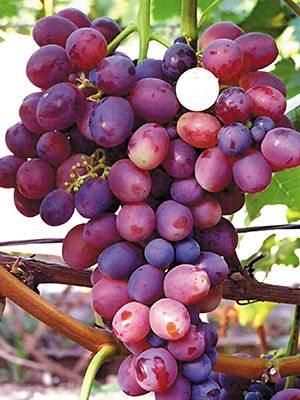 Виноград Лелик (1 шт) - 1