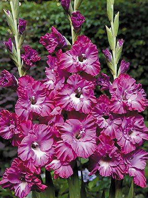Гладиолус садовый Nablus Frizzle 1214 (5 шт) - 1