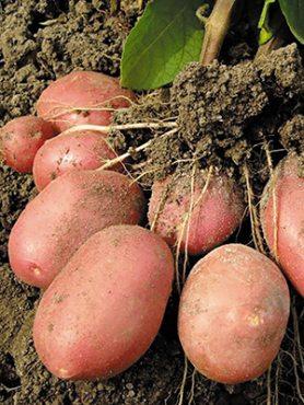 Картопля Родріго (5 кг)
