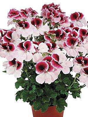 Пеларгония королевская Graziosa Bicolor (1 шт) - 1