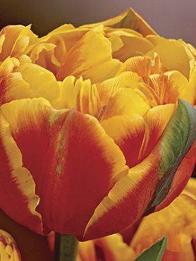 Тюльпаны Махровые поздние Givenchy 1011 (20 шт)