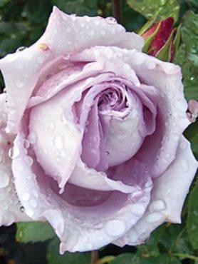 Роза чайно-гибридная Blue Moon(1 шт)