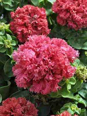 Петуния махровая крупноцветковая Valentine F1, лососево-розовая (10 шт)