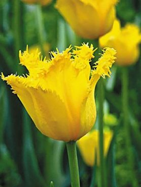 Тюльпаны Бахромчатые Crystal Star 12+ (100 шт)