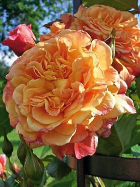 Роза в'юнка Aloha (1 шт)