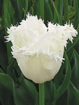 Тюльпаны Бахромчатые Honeymoon 1011 (100 шт)