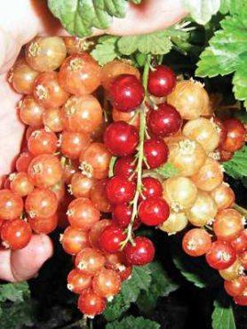 Смородина червона Святомихайловская (1 шт)