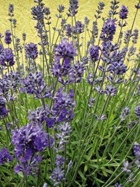 Лавaнда узколистная (лекарственная) Hidcote Blue (1 шт)