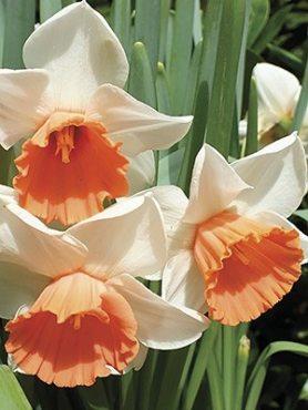 Нарциссы Трубчатые Chromacolor 12/14 (20 шт)
