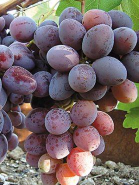 Виноград Орион (1 шт)