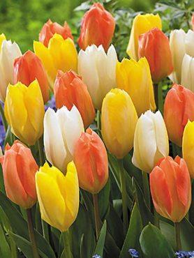 Тюльпаны Фостера, смесь 1012 (10 шт)