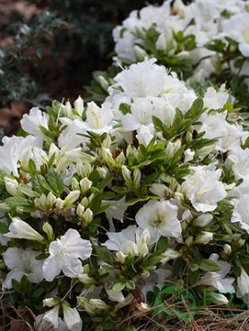 Рододендрон японский Pleasant White (1 шт)