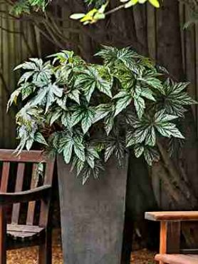 Бегонія гібридна Gryphon. Строкате листя! (5 шт)