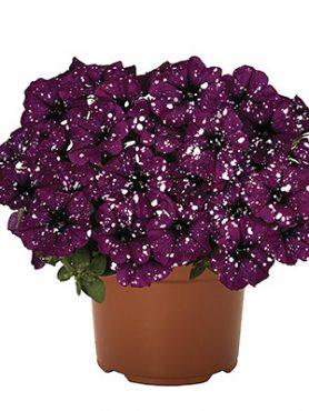 Петуния Surprise Sparkling Purple (3 шт)