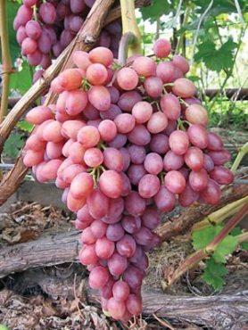 Виноград Кишмиш Променистий(1 шт)