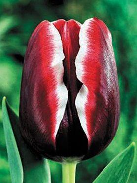 Тюльпани Тріумф Armani 1112 (3 шт)