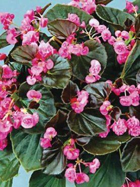Бегонія вечноцветущая Doublet Rose (1 шт)