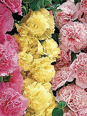 Шток-роза махровая Chater's, смесь (6 шт) - 1