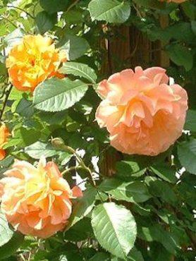 Роза шраб Westerland (1 шт)