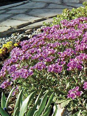 Арабис альпийский, крупноцветковый розовый (3 шт)