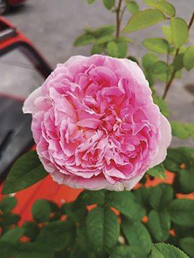 Роза шраб Passion Citroen(1 шт)