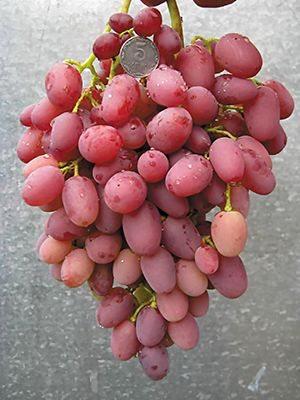 Виноград Водограй (1 шт) - 1
