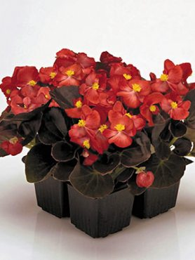 Бегонія вечноцветущая Nightlife Red (10 шт)
