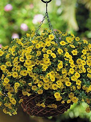 Калібрахоа гібридна Kabloom Yellow (3 шт) - 1