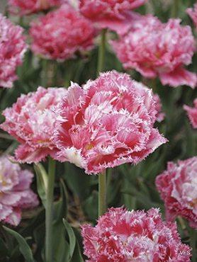 Тюльпаны Махровые бахромчатые Cool Crystal 11/12 (20 шт)