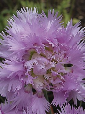 Гвоздика гібридна Pink Mrs. Sinkins (1 шт)
