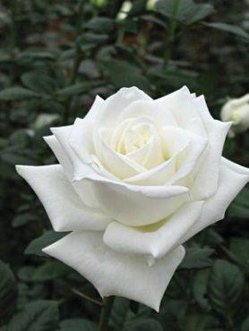 Роза чайно-гибридная Anastasia (1 шт)