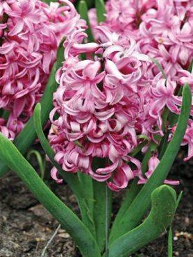 Гіацинт садовий Pink Pearl 1516 (1 шт)