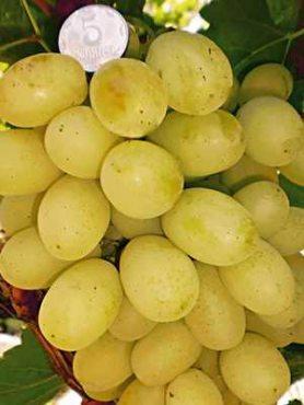 Виноград Ланселот(1 шт)