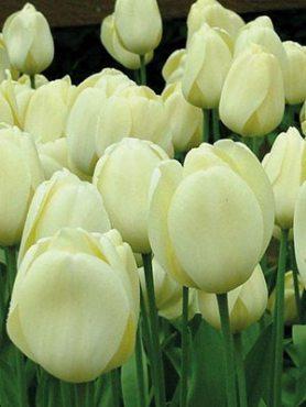 Тюльпани Дарвиновы гібриді. Cream Cocktail 1112 (3 шт)
