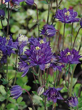 Водозбір звичайний Clementine Dark Purple (1 шт)