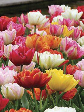 Тюльпаны Махровые Бахромчатые, смесь 10/12 (10 шт)