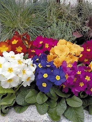 Примула обыкновенная среднего срока цветения, смесь (6 шт) - 1