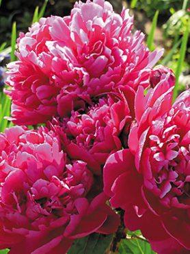 Пион молочноцветковый Karl Rosenfield (1 шт)