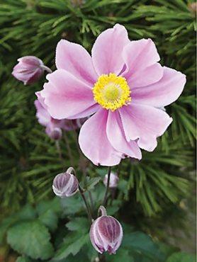Анемона хубэйская Pink Saucer (1 шт)
