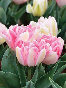 Тюльпаны Махровые ранние Foxtrot 10/11 (100 шт)