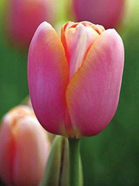 Тюльпаны Простые поздние Menton 1011 (3 шт)