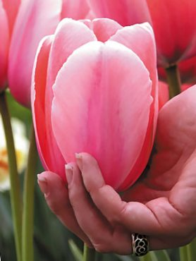 Тюльпани Дарвиновы гібриді. Pink Impression 1112 (3 шт)