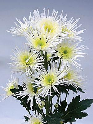 Хризантема срезочная Annecy White (3 шт) - 1