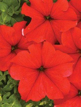 Петуния крупноцветковая Миледи F1, красная (100 шт)